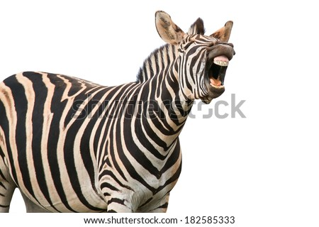 Zebra with a funny expression so that he looks like he is talking of laughing - stock photo