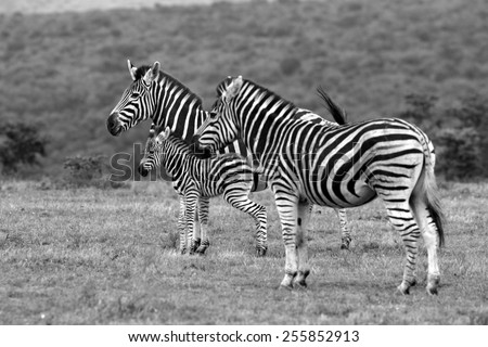 Zebra with a young fowl - stock photo