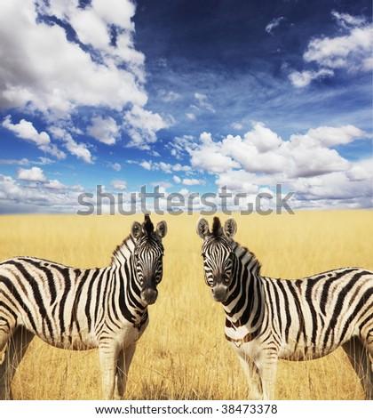 zebras - stock photo
