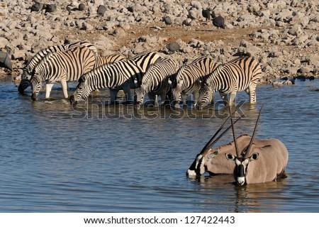 Zebras and Oryx drinking water, Okaukeujo waterhole, Etosha National Park, Namibia - stock photo