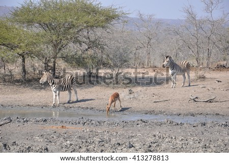 Zebras at a watering hole at the Hluhluwe and Imfolozi game park near St Lucia, South Africa - stock photo