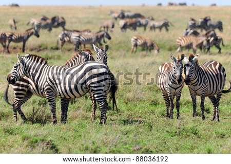 Zebras at Amboseli National Park, formerly Maasai Amboseli Game Reserve, is in Kajiado District, Rift Valley Province in Kenya. The ecosystem that spreads across the Kenya-Tanzania border. - stock photo