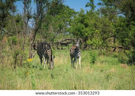 Zebras at Kruger National Park, South Africa - stock photo