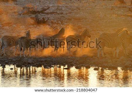 Zebras at sunset at Okaukeujo waterhole, Namibia  - stock photo