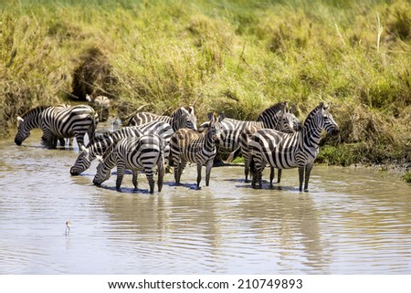 Zebras drinks of a water hole - stock photo