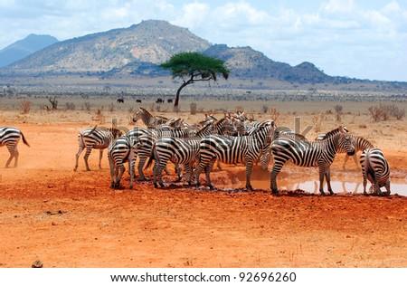 Zebras (Equus quagga) in a water hole - stock photo
