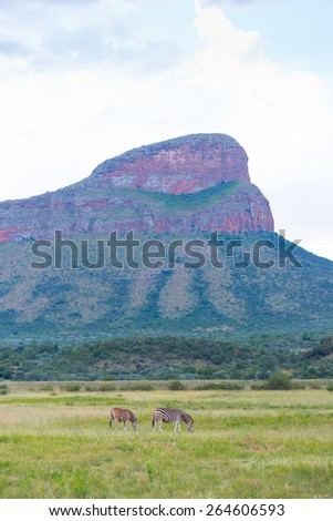 Zebras graze along grassland plains at Entabeni Reserve in South Africa - stock photo