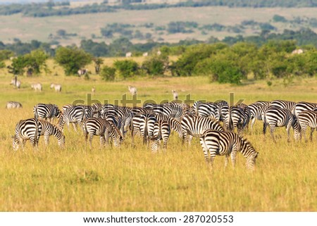 Zebras grazing grass on the savannah - stock photo