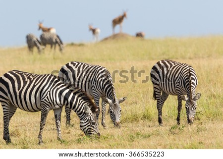 Zebras grazing on grass savanna - stock photo