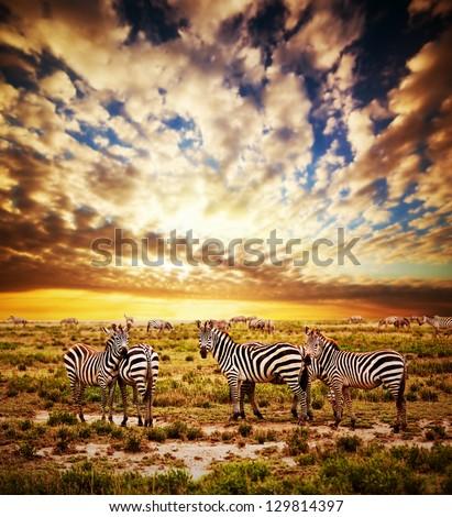 Zebras herd on savanna at sunset, Africa. Safari in Serengeti, Tanzania - stock photo