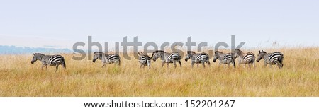 zebras in a row walking in the savannah in africa - national park masai mara in kenya - stock photo