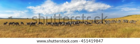 Zebras in a row walking in the savannah in Africa. National park Masai Mara in Kenya - stock photo