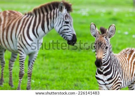 Zebras in Ngorongoro conservation area in Tanzania - stock photo