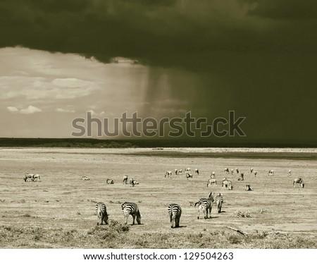 Zebras in the Lake Manyara National Park - Tanzania, Eastern Africa (stylized retro) - stock photo