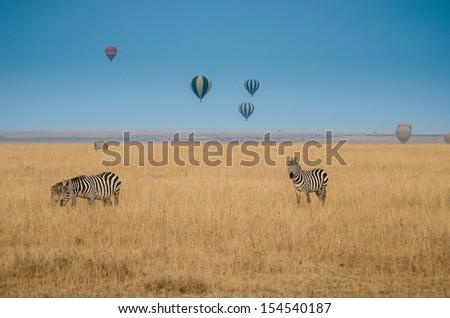 zebras in the savannah with hot air balloons raising - stock photo
