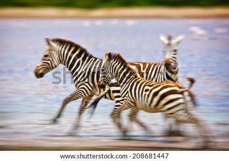 Zebras in the Serengeti National Park, Tanzania - stock photo