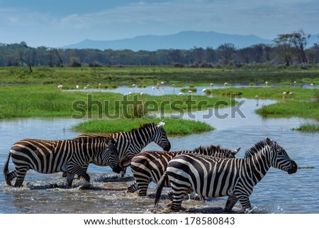 zebras in the water - stock photo