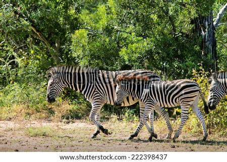 Zebras in their Natural Habitat, in the Kruger National Park of South Africa. - stock photo