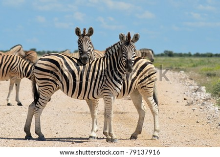 zebras on road - stock photo