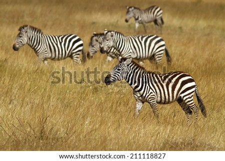 Zebras on the Masai Mara National Reserve safari in southwestern Kenya. - stock photo