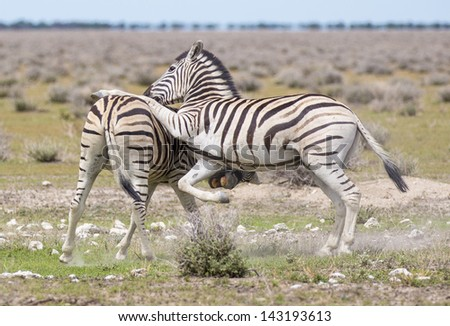 Zebras playing Two zebras playing in the open, one jumping on the other - stock photo