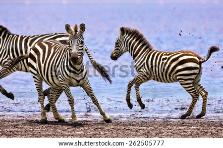 Zebras running beside Lake Ndutu in the Serengeti National Park, Tanzania - stock photo