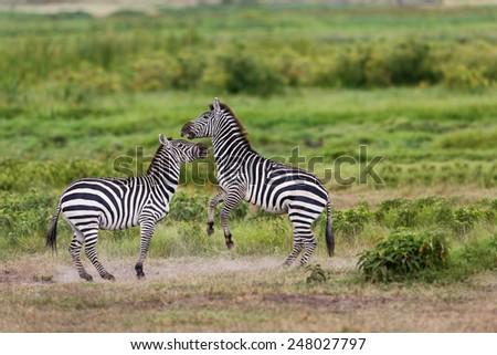 Zebras starting to fight in Amboseli National Park, Kenya - stock photo