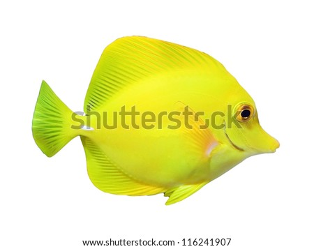 Zebrasoma aquarium fish isolated on white background - stock photo