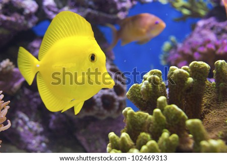 Zebrasoma Flavescens yellow tang - stock photo