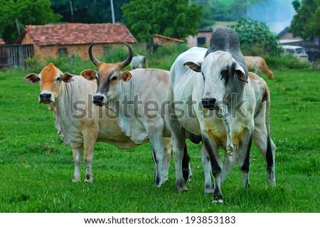 Zebu cattle - stock photo