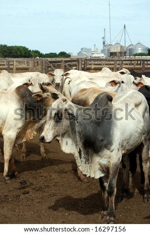Zebu cattle at a huge ranch in Brazil, where cattle ranching is the biggest cause of deforestation - stock photo