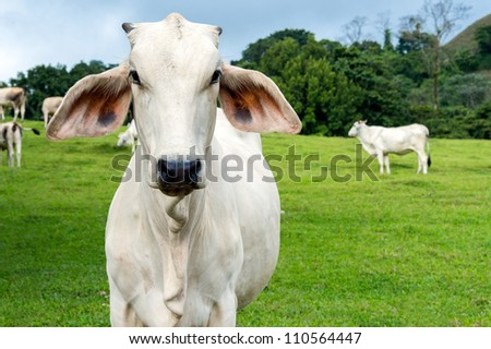 Zebu cow cattle in a farm in the Costa Rica Countryside. - stock photo