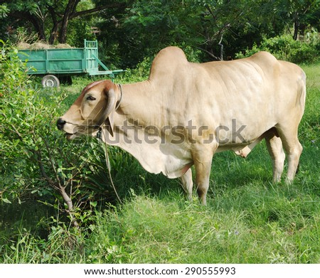 Zebu (lat. Bos taurus indicus), or long-horned humped bull. - stock photo