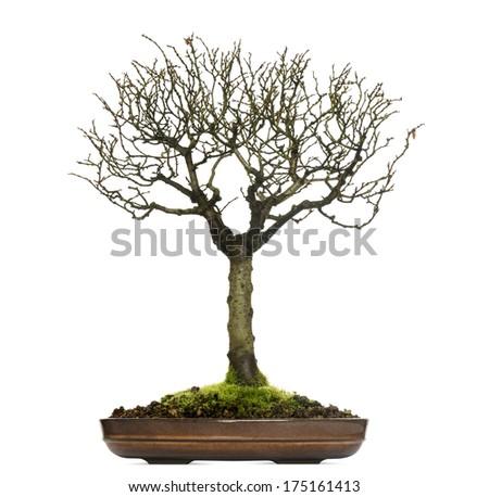 Zelkova bonsai tree, isolated on white - stock photo