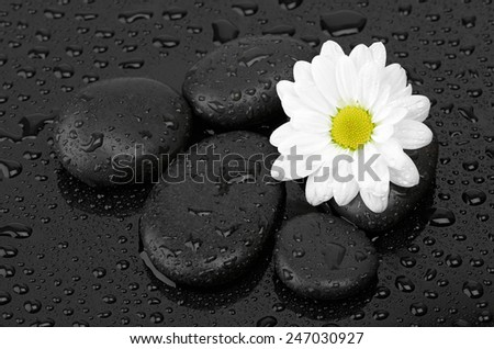 zen basalt stones and daisy isolated on black - stock photo