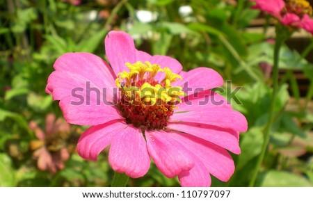 Zinnia flower - stock photo