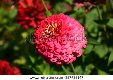 Zinnia flower blooming in the garden - stock photo