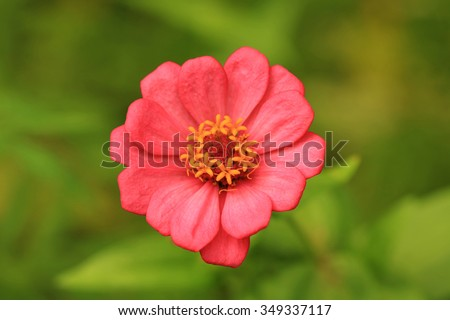 Zinnia flower in full bloom,Youth-and-old-age flower - stock photo