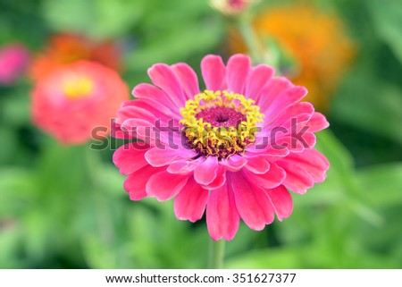 Zinnia flower in the garden in Summer season - stock photo
