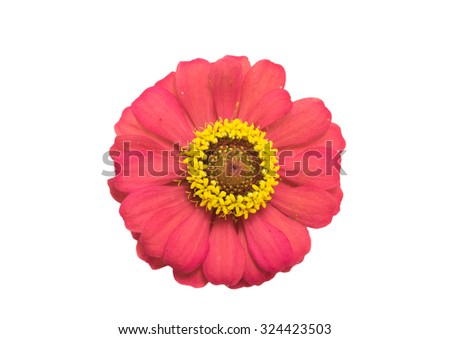 Zinnia  on white background - stock photo