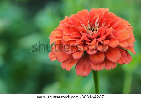 Zinnia red on a background of nature - stock photo