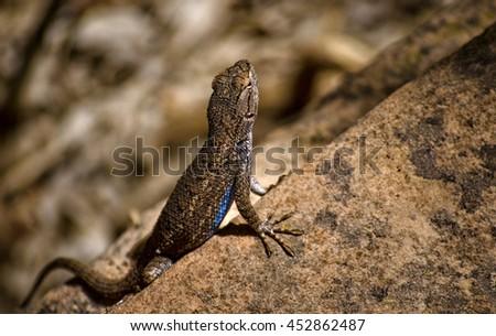Zion Park Lizard - stock photo