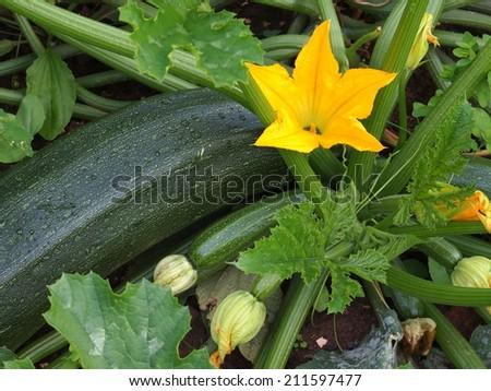zucchini - stock photo