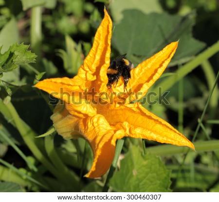 zucchini plant - stock photo