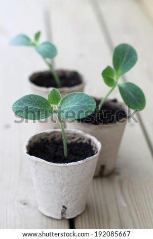 Zucchini sprouts in paper pots - stock photo