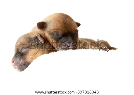 Zverg Spitz, Pomeranian puppies, couple of days old - stock photo