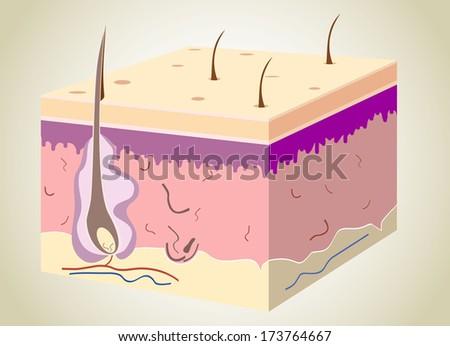 3D skin oblique with cut away epidermis - stock vector