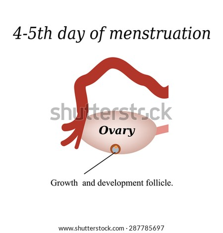 4-5 day of menstruation - the growth and development of the ovarian follicle. Vector illustration on isolated background. - stock vector