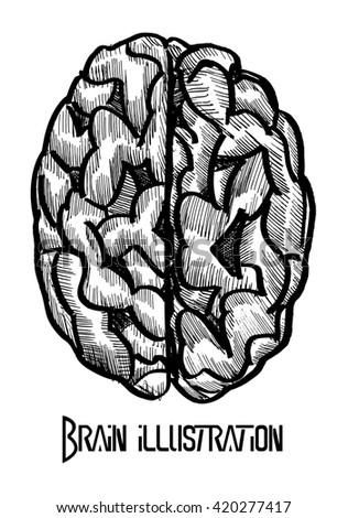 human brain Vector outline illustration on white background - stock vector