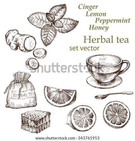 Lemon, mint, ginger,  tea. Hand drawn illustration.  Herbal tea.   - stock vector